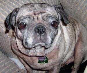 old pug